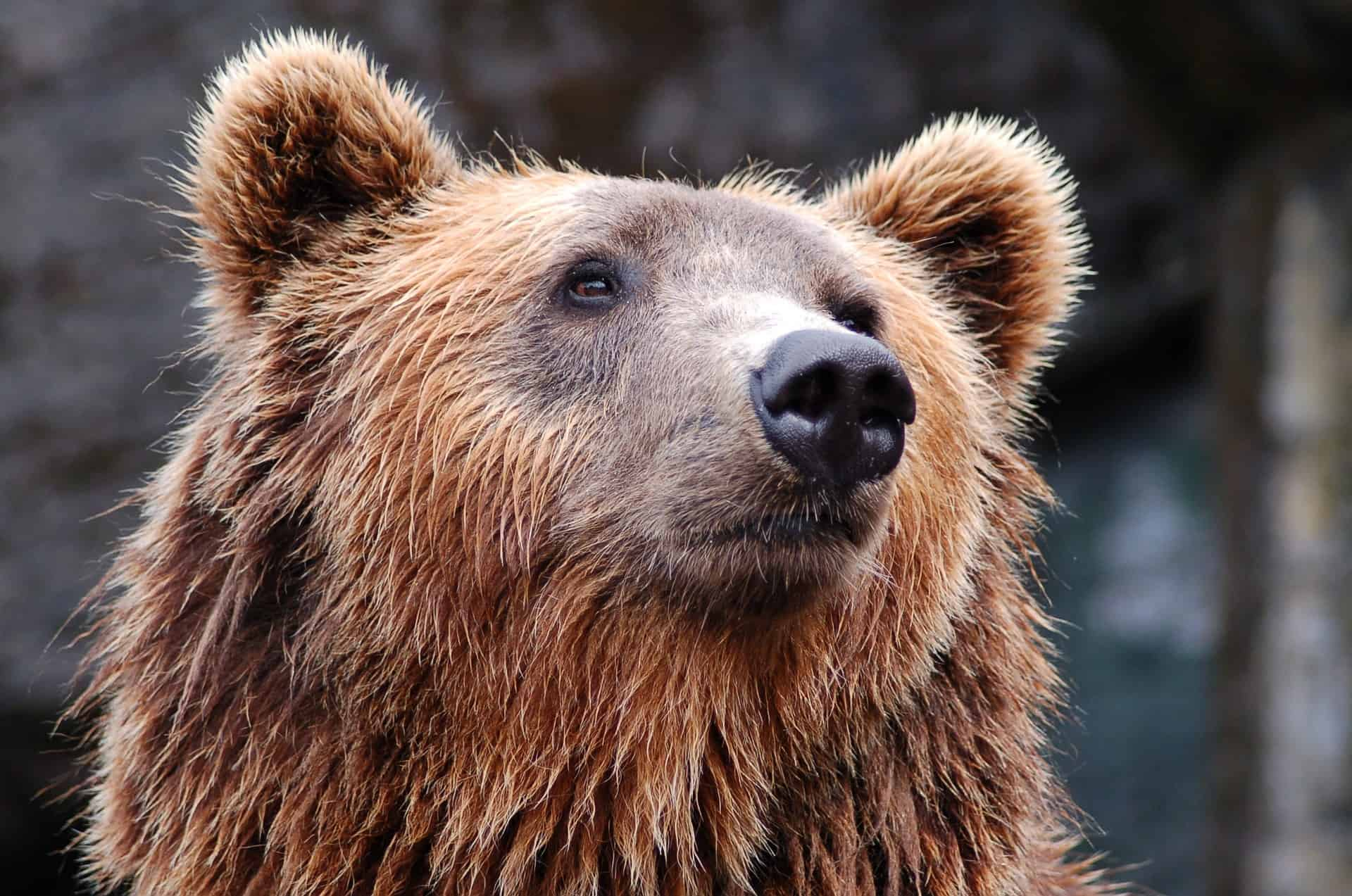 It is estimated that around three thousand brown bears roam in the Swedish forests.
