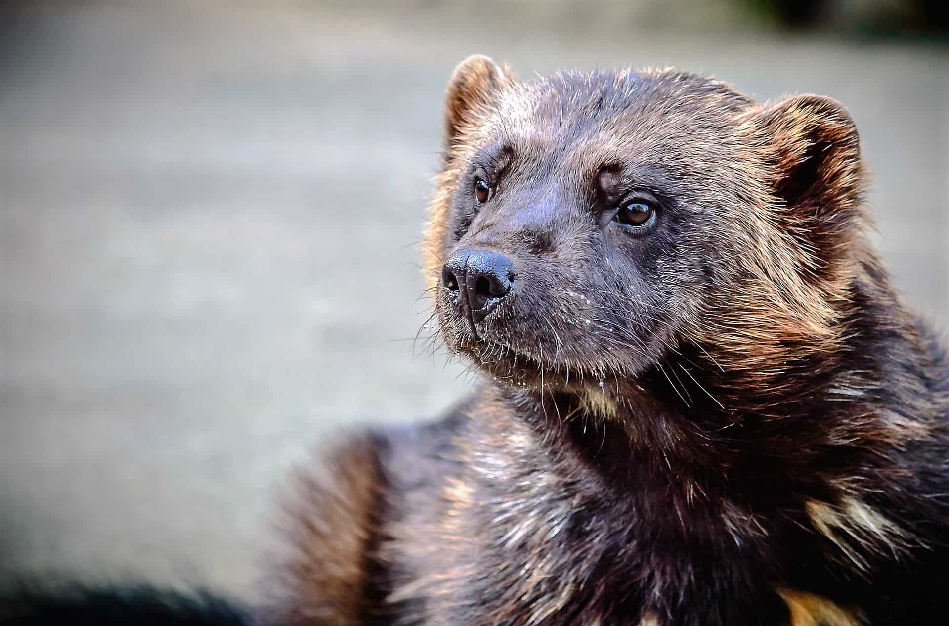 With its strong jaws, the wolverine can get some edible from frozen carcasses. In his search for food, he can walk 50 km a day.