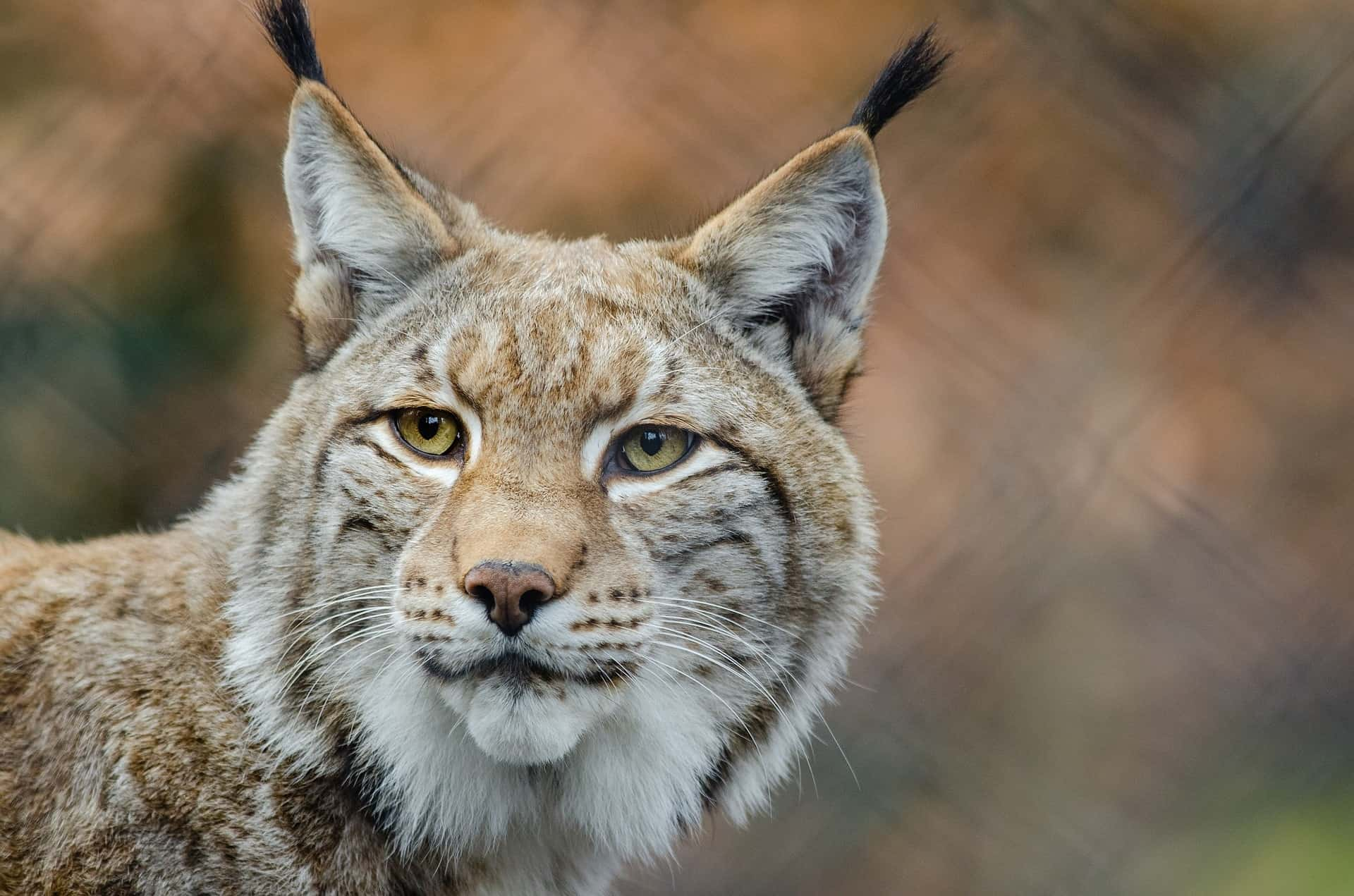 The lynx is recognizable by the feathers above his ears, the sparkling eyes and the stump tail.