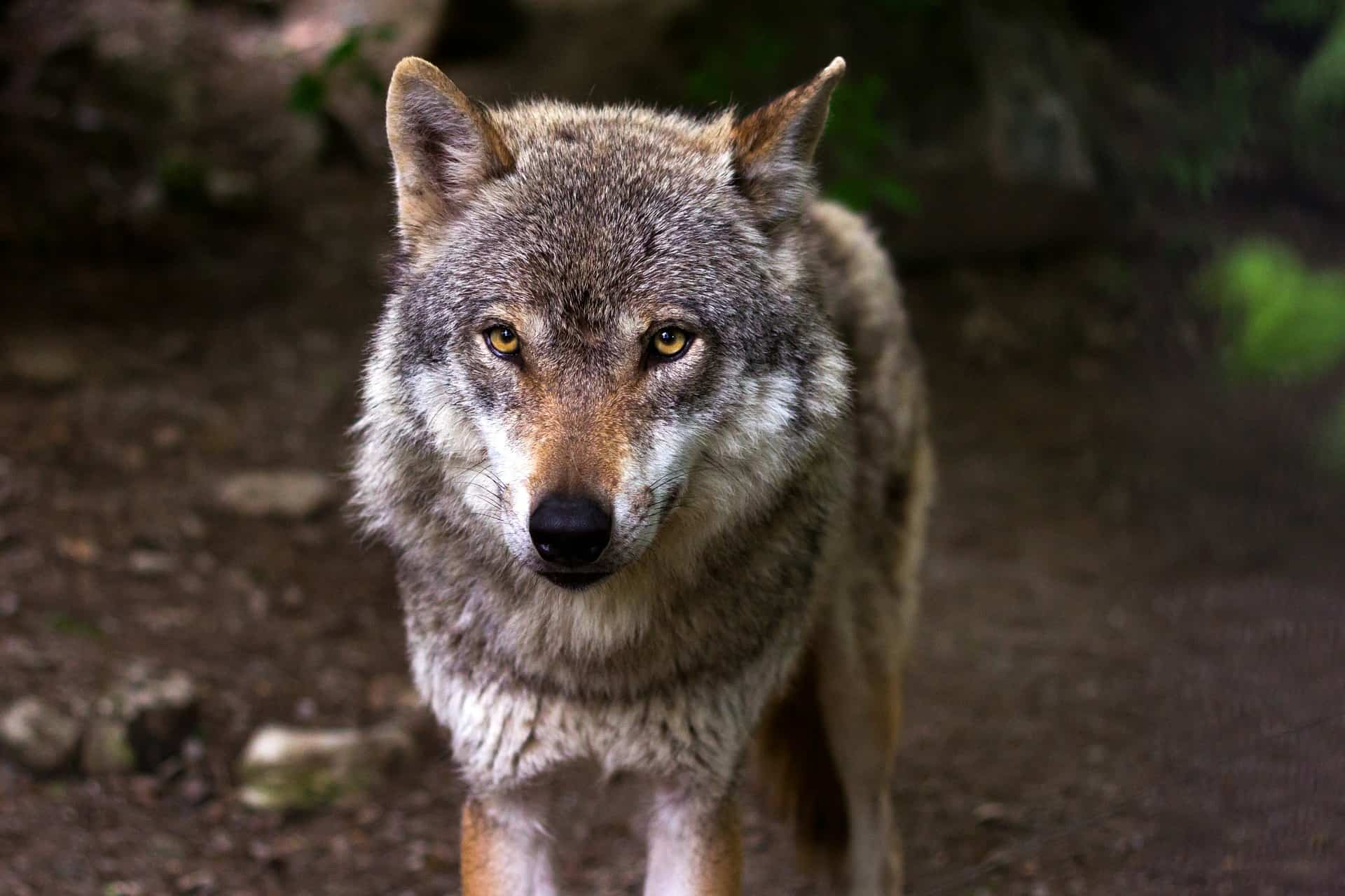 The wolf is one of the largest predators in Finland. The number of wolves in Finland has increased enormously in recent years.