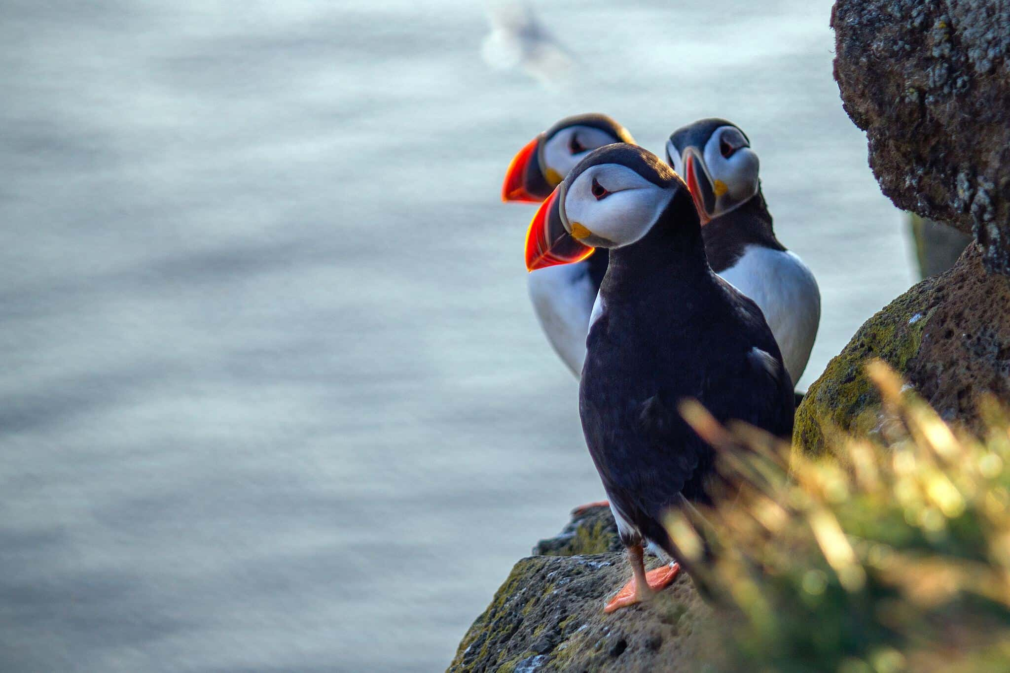 The puffin is a remarkable bird, almost penguin-like. The beak consists of bright colors of yellow, red and blue gray.