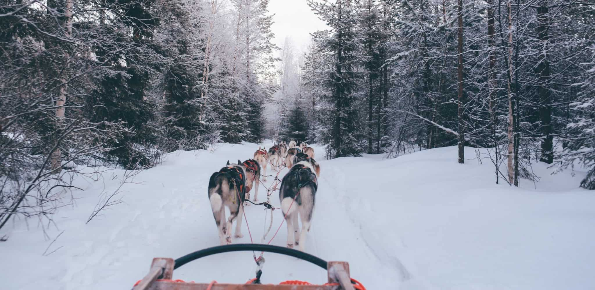 One of the special attractions of a holiday in the winter wonderland of Finland is the possibility of taking a husky tour.