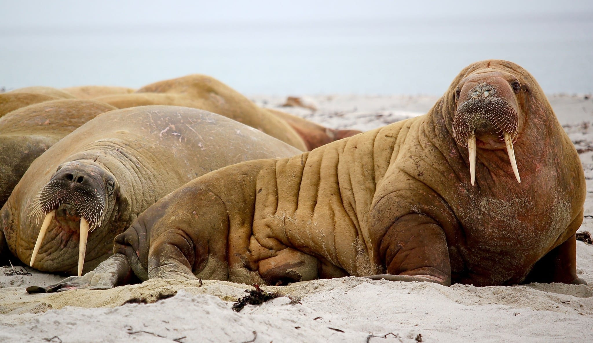 Recently the Walrus has made a comeback to its old colonies and we can admire them in their natural environment during a visit to Spitsbergen.